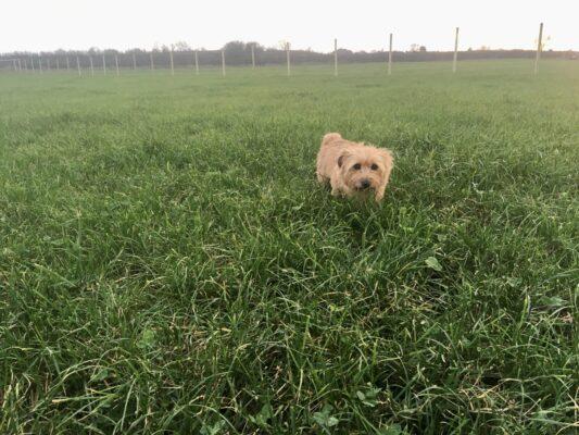 Norfolk Terrier in Long Clawson dog walking field